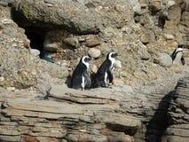 Pingüinos africanos 13 Imagenes de archivo
