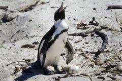 Pingüinos africanos de la cría en los cantos rodados playa, cabo Imágenes de archivo libres de regalías