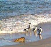 Pingüinos africanos del pingüino (demersus del Spheniscus) que vuelven del océano, Western Cape, Suráfrica Foto de archivo libre de regalías