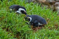 Pingüinos africanos en hierba verde fotos de archivo