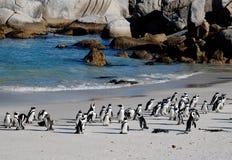 Pingüinos africanos en la playa Imágenes de archivo libres de regalías