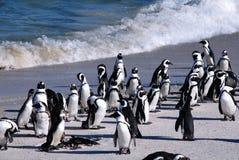 Pingüinos africanos en la playa de Boulder (Suráfrica) Imagen de archivo libre de regalías