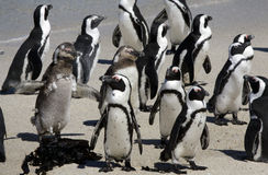 Pingüinos africanos en la playa de los cantos rodados Imagen de archivo