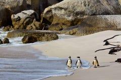 Pingüinos africanos en la playa de los cantos rodados Imágenes de archivo libres de regalías
