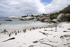 Pingüinos africanos en la playa de los cantos rodados, Suráfrica Imagenes de archivo