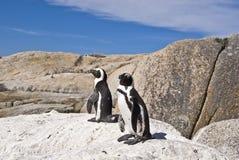 Pingüinos africanos en roca Imágenes de archivo libres de regalías