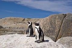 Pingüinos africanos en roca Fotos de archivo