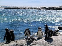 Pingüinos africanos en rocas por el mar Fotografía de archivo libre de regalías