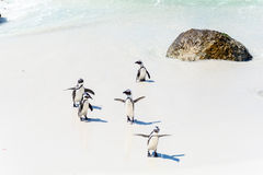 Pingüinos africanos en Simons Town, Suráfrica Fotografía de archivo