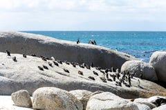 Pingüinos africanos en Simons Town, Suráfrica Foto de archivo