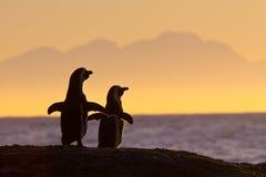 Pingüinos africanos en sol de la mañana Fotografía de archivo