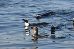 Pingüinos africanos que nadan (demersus del Spheniscus) Imagen de archivo libre de regalías