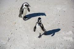 Pingüinos africanos, también conocidos como pingüinos de zopenco en la playa Imagen de archivo libre de regalías