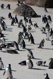Pingüinos africanos, también conocidos como pingüinos de zopenco en la playa Imágenes de archivo libres de regalías