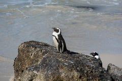 Pingüinos africanos, también conocidos como pingüinos de zopenco que se sientan en un ro Imagen de archivo