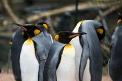 Pingüinos altos que se colocan uno al lado del otro en el parque zoológico Imagenes de archivo