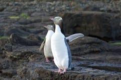 Pingüinos Amarillo-Eyed fotografía de archivo libre de regalías