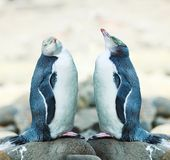 pingüinos Amarillo-eyed imagen de archivo