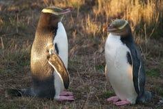pingüinos Amarillo-eyed fotos de archivo