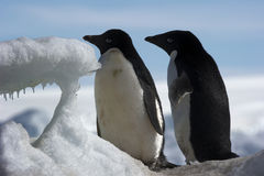 Pingüinos antárticos Imagen de archivo libre de regalías