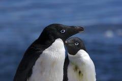 Pingüinos antárticos Foto de archivo libre de regalías