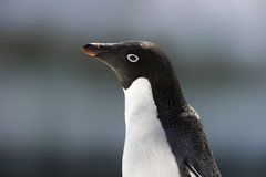 Pingüinos antárticos Fotografía de archivo libre de regalías