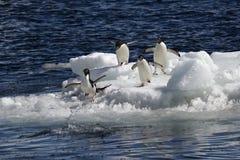 Pingüinos antárticos Imagen de archivo