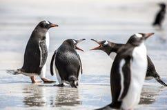 Pingüinos bajo discusión en Malvinas Islands-2 Imagen de archivo libre de regalías