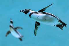 Pingüinos bajo el agua Imágenes de archivo libres de regalías