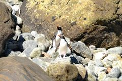 Pingüinos con cresta de Fiordland en Nueva Zelanda imágenes de archivo libres de regalías