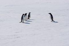 Pingüinos de Adélie Imágenes de archivo libres de regalías