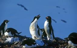 Pingüinos de Adelie Imágenes de archivo libres de regalías