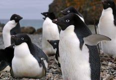 Pingüinos de Adelie Fotos de archivo