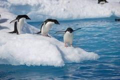 Pingüinos de Adelie en el borde del iceberg en la Antártida Imagen de archivo