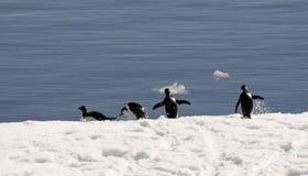 Pingüinos de Adelie en la corrida Foto de archivo