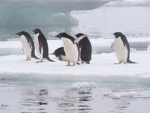 Pingüinos de Adelie en la península antártica Imagen de archivo libre de regalías
