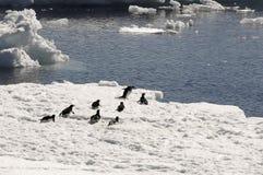 Pingüinos de Adelie en masa de hielo flotante de hielo Imágenes de archivo libres de regalías