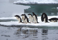 Pingüinos de Adelie en masa de hielo flotante de hielo en la Antártida Fotos de archivo