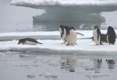 Pingüinos de Adelie en masa de hielo flotante de hielo en la Antártida Foto de archivo