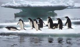 Pingüinos de Adelie en masa de hielo flotante de hielo en la Antártida Fotos de archivo libres de regalías