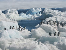 Pingüinos de Adelie en nieve e hielo Fotos de archivo