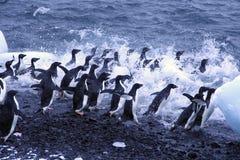Pingüinos de Adelie, saltando en el océano Foto de archivo