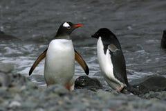 Pingüinos de Adelie y de Gentoo Imagenes de archivo