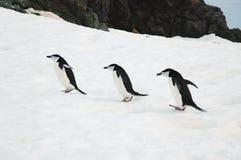 Pingüinos de Chinstrap Fotografía de archivo