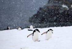 Pingüinos de Chinstrap Imágenes de archivo libres de regalías