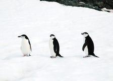 Pingüinos de Chinstrap fotos de archivo libres de regalías
