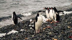Pingüinos de Chinstrap y de Gentoo que salen del océano en la isla del engaño en la Antártida fotografía de archivo