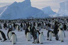 Pingüinos de emperador Imagen de archivo