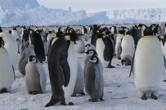 Pingüinos de emperador Foto de archivo