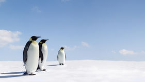Pingüinos de emperador Imagen de archivo libre de regalías